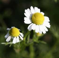 Manzanilla romana Chamaemelum nobile Plantas Medicinales