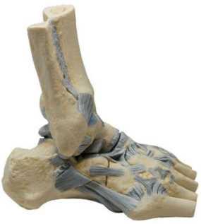 Lesiones de los ligamentos del tobillo  Traumatología